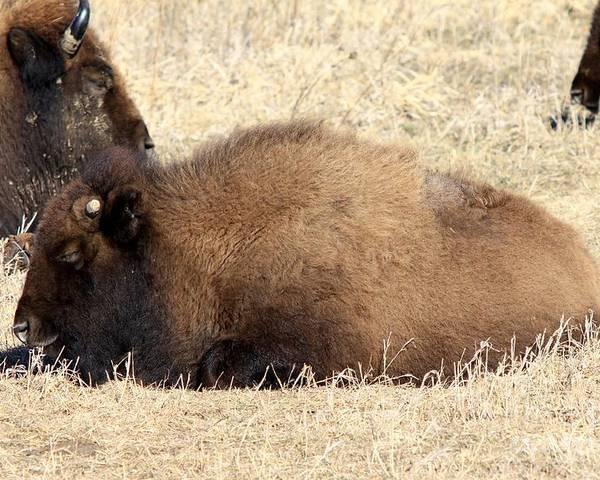 Buffalo Poster featuring the photograph Baby Buff by Rick Rauzi