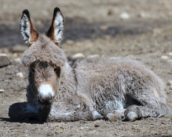 Route 462 Poster featuring the photograph Baby Burro by Pamela Schreckengost