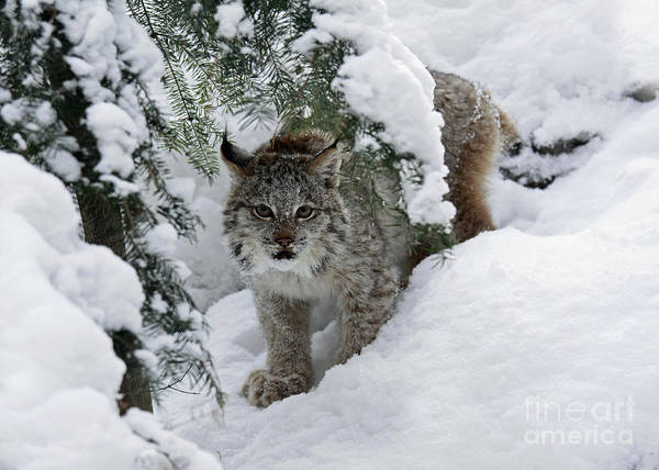 Baby Poster featuring the photograph Baby Lynx Hiding In A Snowy Pine Forest by Inspired Nature Photography Fine Art Photography
