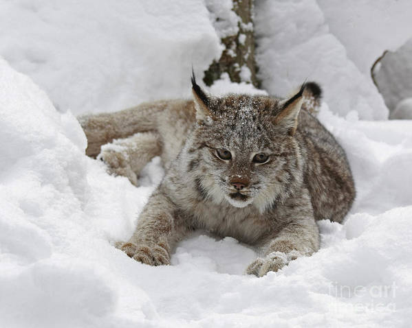 Baby Poster featuring the photograph Baby Lynx In A Winter Snow Storm by Inspired Nature Photography Fine Art Photography