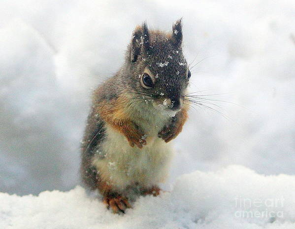 Animal Poster featuring the photograph Baby Squirrel by Irina Hays