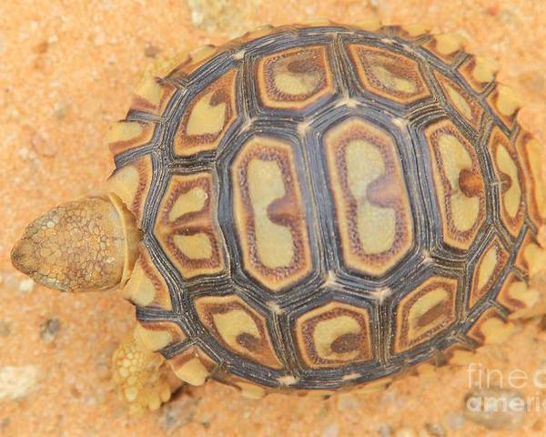 Africa Poster featuring the photograph Baby Tortoise by Hermanus A Alberts
