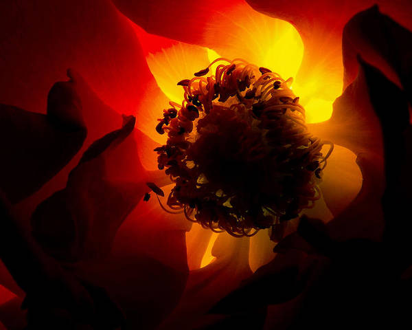 Nature Poster featuring the photograph Backlit Flower by Fabrizio Troiani