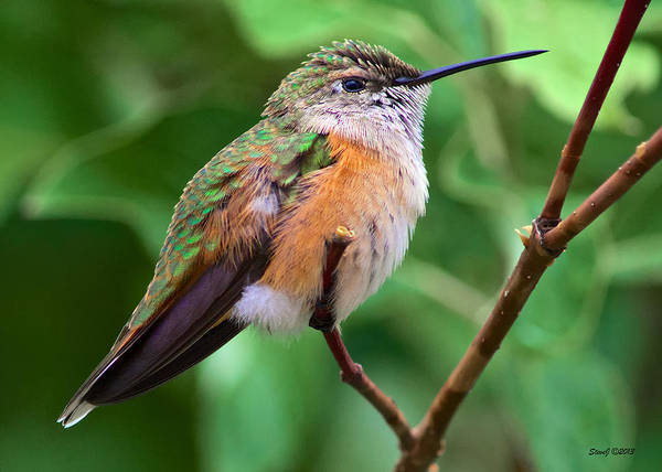 Hummingbird Poster featuring the photograph Backyard Broad Tailed Hummingbird by Stephen Johnson