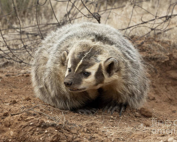 Badger Poster featuring the photograph Bad Attitude by Sandra Bronstein