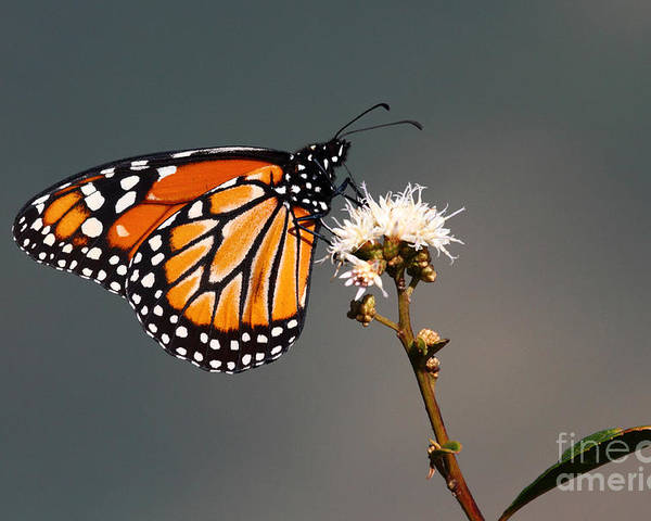 Monarch Butterfly Poster featuring the photograph Balancing Act by James Brunker