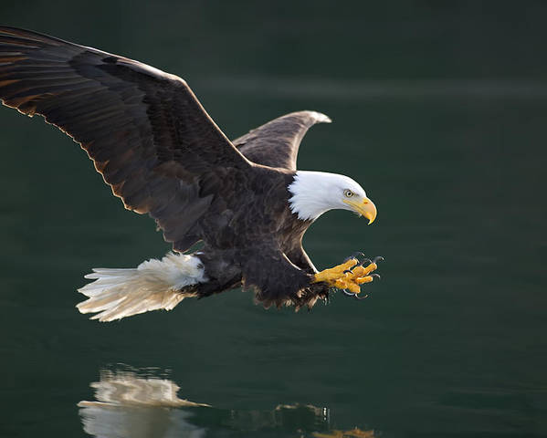 Action Poster featuring the photograph Bald Eagle Catching Fish by John Hyde