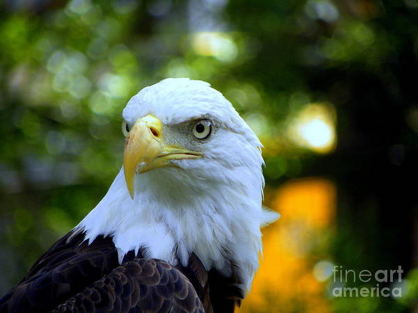 Bald Poster featuring the photograph Bald Eagle by Terri Mills
