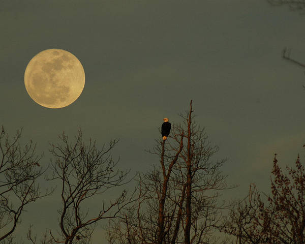Bald Eagle Watching The Full Moon Rise Poster featuring the photograph Bald Eagle Watching The Full Moon by Raymond Salani III