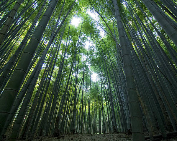Bamboo Poster featuring the photograph Bamboo Forest by Aaron Bedell