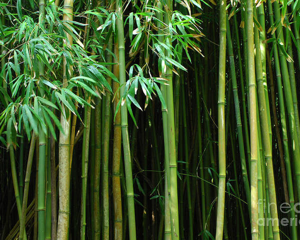 Bamboo Poster featuring the photograph Bamboo Forest Maui by Bob Christopher