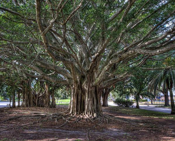 Banyan Tree Photographs Poster featuring the photograph Banyan Tree Reaching For The Sky by Gerald Adams