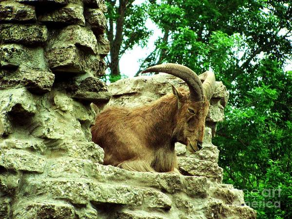 Barbary Sheep Poster featuring the photograph Barbary Sheep 2 by Margaret Newcomb