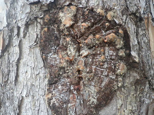 Tree Bark Poster featuring the painting Bark Viii by Ione Hedges