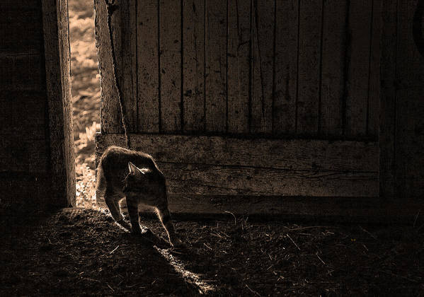 Cats Poster featuring the photograph Barn Cat by Theresa Tahara