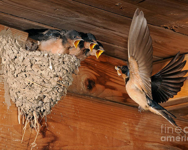 Barn Swallow Poster featuring the photograph Barn Swallow Nest by Scott Linstead
