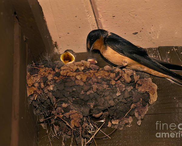 Barn Swallow Poster featuring the photograph Barn Swallow by Ron Sanford