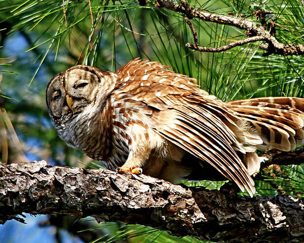 Alert Poster featuring the photograph Barred Owl On Limb by Ira Runyan