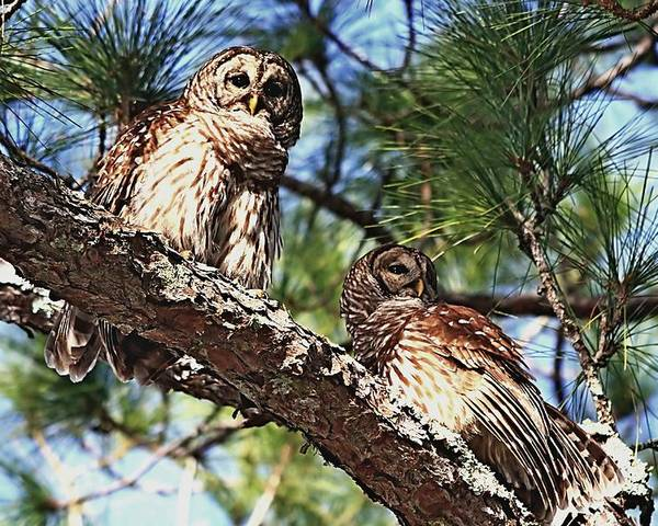 Alert Poster featuring the photograph Barred Owl Pair by Ira Runyan