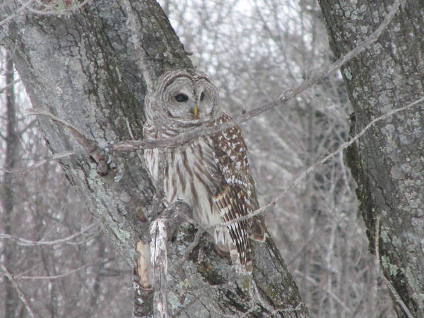 Barred Owl Poster featuring the photograph Barred Owl by Rick Huotari