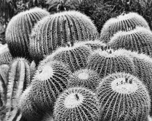 Echinocactus Grusonii Poster featuring the photograph Barrel Bunch by Kelley King
