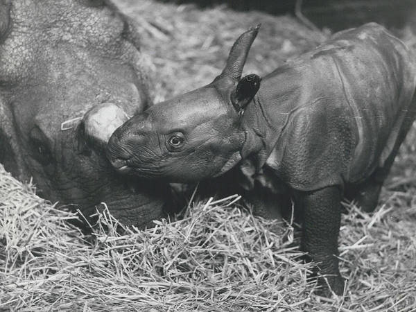 retro Images Archive Poster featuring the photograph Basel World-record In Rhinoceros Breeding by Retro Images Archive