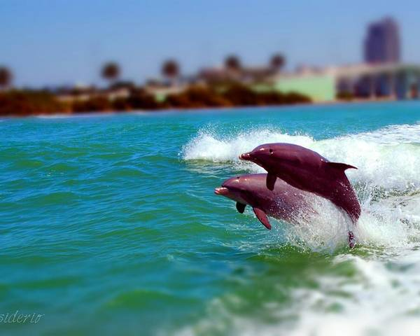 Clearwater Poster featuring the photograph Bay Dolphins by Joedes Photography