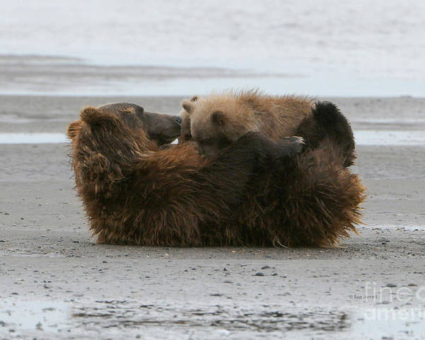 Grizzly Bear Poster featuring the photograph Bear Cubs Nurse by Sue Jarrett