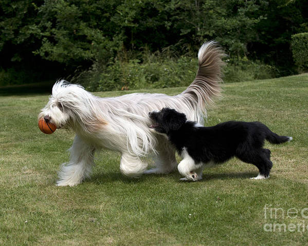 Bearded Collie Poster featuring the photograph Bearded Collies Playing by John Daniels