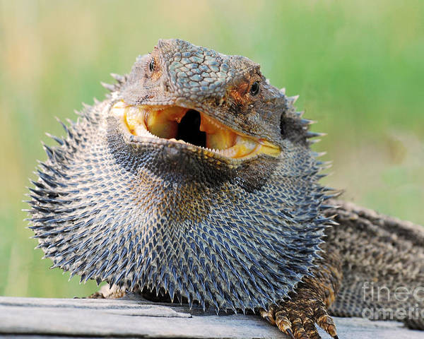 Bearded Dragon Poster featuring the photograph Bearded Dragon In Defense Mode by Christopher Edmunds