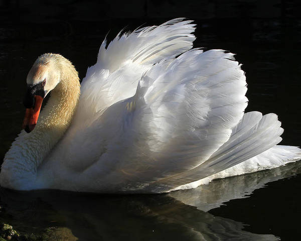 Swan Poster featuring the photograph Beautiful Display by Donna Kennedy