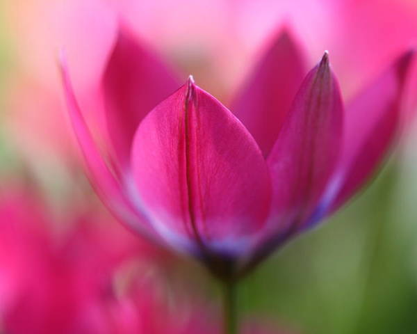 Tulip Poster featuring the photograph Beautiful Pink by Annie Snel