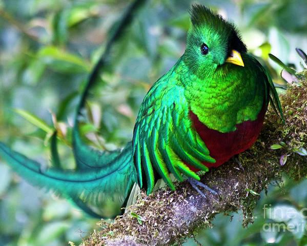 Bird Poster featuring the photograph Beautiful Quetzal 4 by Heiko Koehrer-Wagner