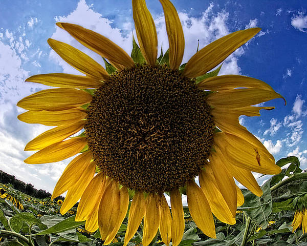 Sunflower Poster featuring the photograph Beautiful Sunflower by Alice Gipson