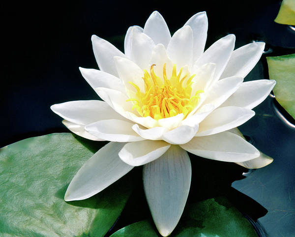 Water Lily Poster featuring the photograph Beautiful Water Lily Capture by Ed Riche