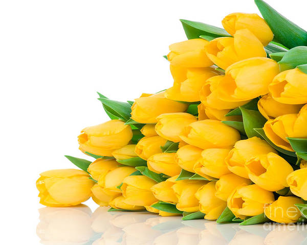 Beautiful Poster featuring the photograph Beautiful Yellow Tulips Valentine by Boon Mee