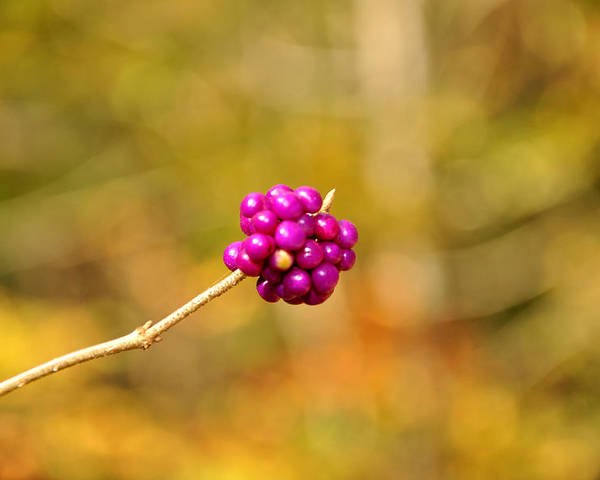 Single Poster featuring the photograph Beautyberry by Sonja Dover