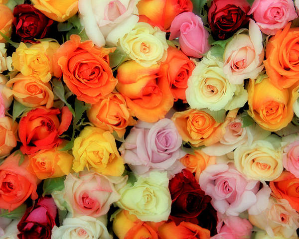 Roses Poster featuring the photograph Bed Of Roses by Tony Grider