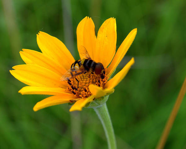 Smooth Oxeye Poster featuring the photograph Bee On A Smooth Oxeye by Mark Hudon