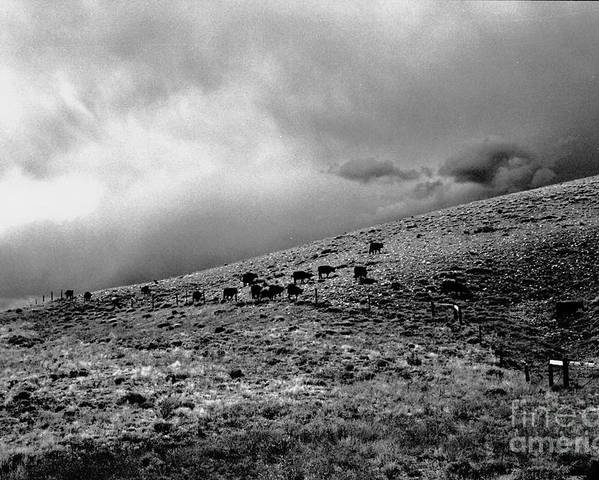 Cattle Poster featuring the photograph Before the Storm by Susan Chandler