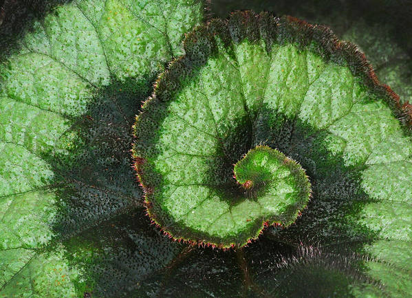 Begonia Poster featuring the photograph Begonia Leaf 2 by Dave Mills