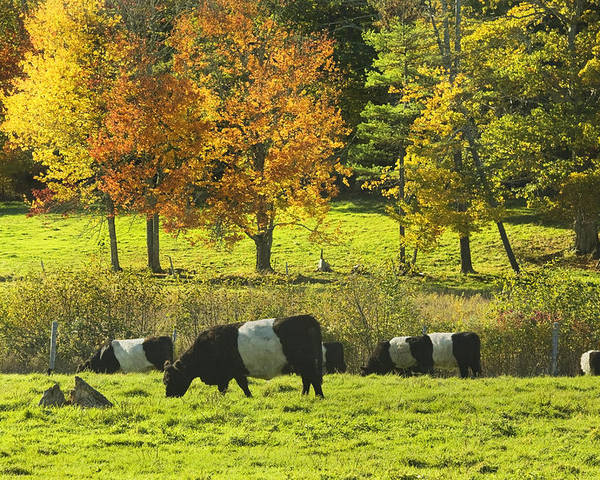 Cow Poster featuring the photograph Belted Galloway Cows Grazing On Grass In Rockport Farm Fall Maine Photograph by Keith Webber Jr