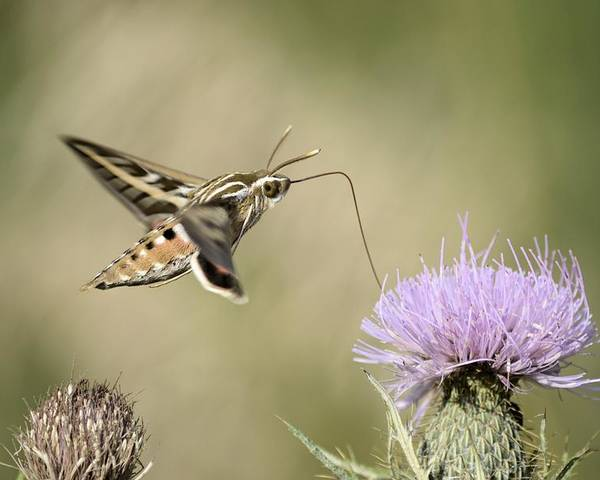 Hummer Moth Poster featuring the photograph Bent Straw by Bonfire Photography