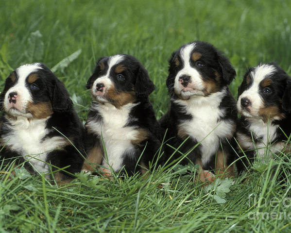 Dogs Poster featuring the photograph Bernese Mountain Puppies by Rolf Kopfle