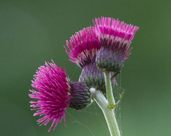 Thistle Poster featuring the photograph Beth Chatto Garden by Sean Foreman