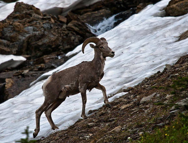 Big Horn Sheep Poster featuring the photograph Big Horn Sheep by Craig Brown