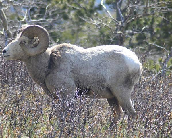 Big Horn Sheep Glacier National Park Poster featuring the photograph Big Stud by Michael Cressy