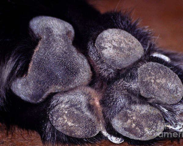 Canine - Paws - Animal Paws - Dogs - Paw Prints - Paw Print Photography Poster featuring the photograph Big Tracks by Juls Adams