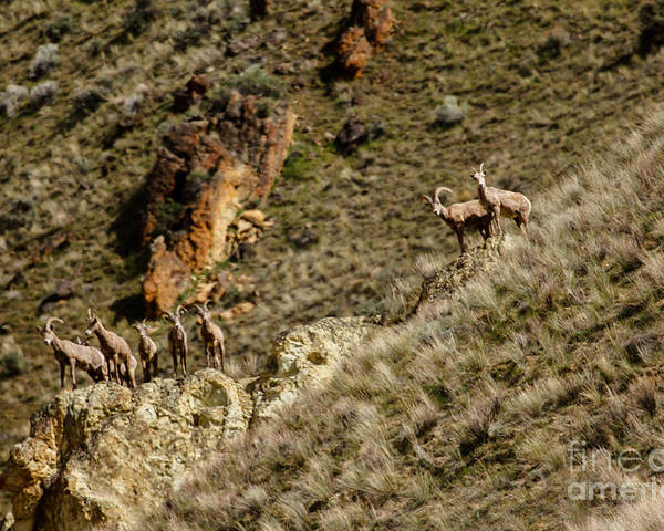 Sheep Poster featuring the photograph Bighorn Sheep by Robert Bales
