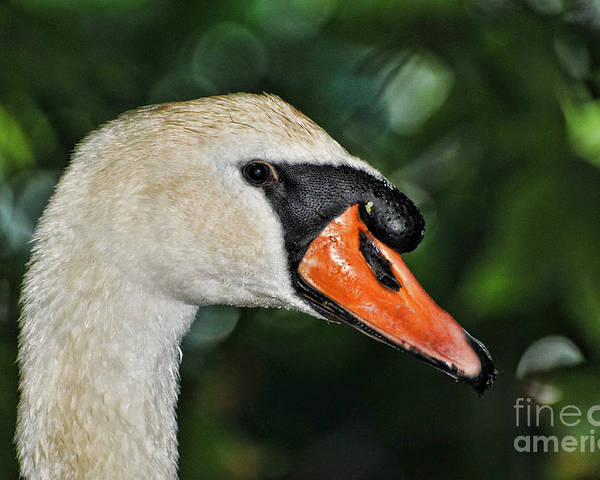 Paul Ward Poster featuring the photograph Bird - Swan - Mute Swan Close Up by Paul Ward